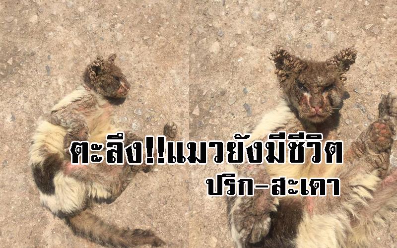 แมวพิการ |สะเดา