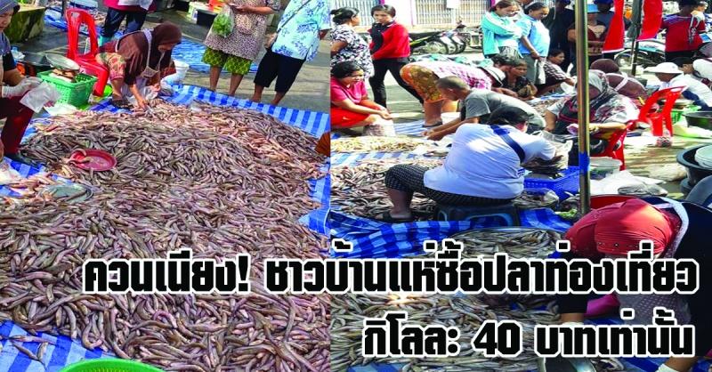 ควนเนียง   ฤดูปลาท่องเที่ยวมาถึงแล้ว ชาวควนเนียงแห่ซื้อปลาท่องเที่ยว กิโลละ 40 บาทเท่านั้น!!