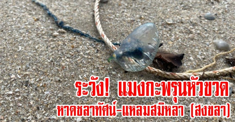 สงขลา | ระวัง! แมงกะพรุนหัวขวด หาดชลาทัศน์และแหลมสมิหลา จึงขอแจ้งให้ประชาชนในบริเวณดังกล่าว ระมัดระวังการสัมผัสพิษจากแมงกะพรุนชนิดนี้