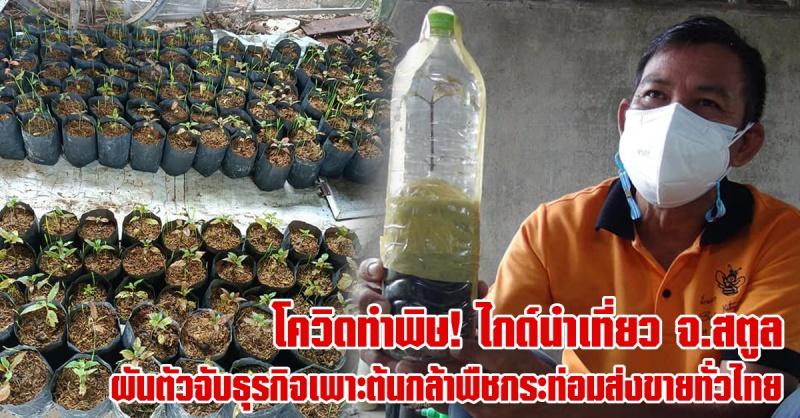 สตูล   ไกด์นำเที่ยวได้รับผลกระทบโควิด ผันตัวจับธุรกิจ นำต้นกล้าพืชกระท่อมส่งขายทั่วไทย สร้างรายได้งาม