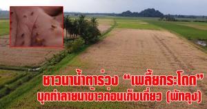 พัทลุง | ชาวนาเมืองลุงหมดหวังหลังเพลี้ยกระโดดสีน้ำตาลบุกทำลายนาข้าววอนภาครัฐเร่งช่วย