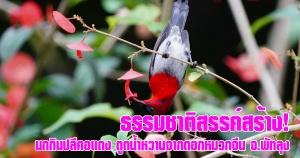 พัทลุง | ธรรมชาติสรรค์สร้าง! นกกินปลีคอแดง ดูดน้ำหวานจากดอกหมวกจีน