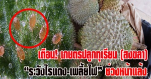 สงขลา | เตือนเกษตรสงขลา ระวัง! แมลงศัตรูทุเรียนที่พบในช่วงหน้าแล้ง ไรแดงและเพลี้ยไฟ